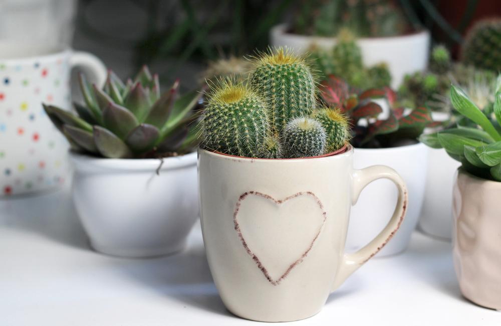 cactus plantas en casa