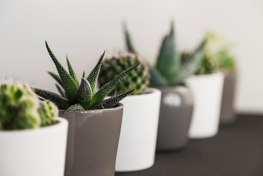 cactus plantas purificadoras