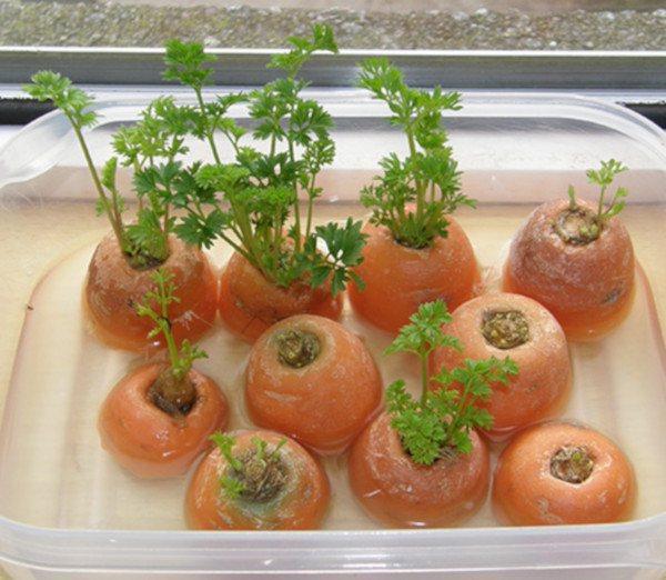 rebrotar zanahorias