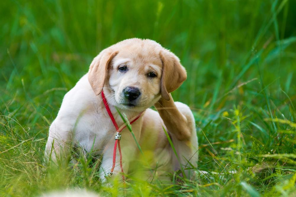 Cómo eliminar las pulgas del perro de la casa en 5 pasos