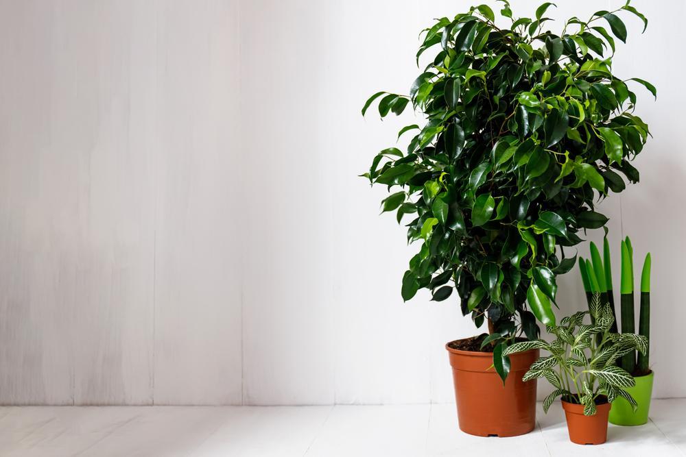 ficus plantas en casa