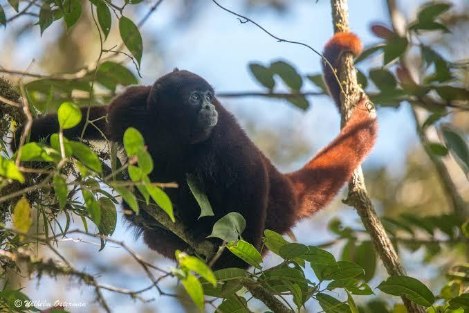 animales peruanos mono cola amarilla