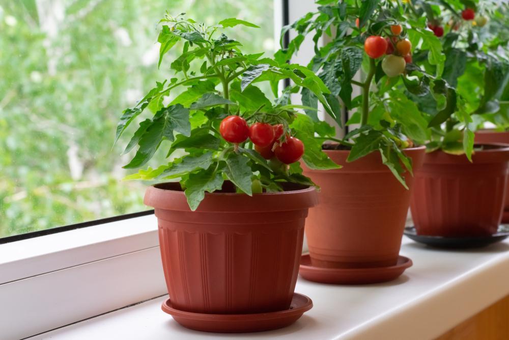 sembrar en casa tomate cherry