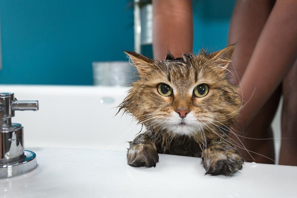 Mito o verdad: ¿Los gatos no se deben bañar?
