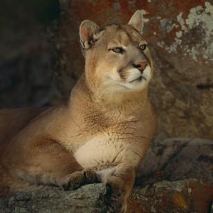 Mufasa, el puma peruano que volvió a su hogar
