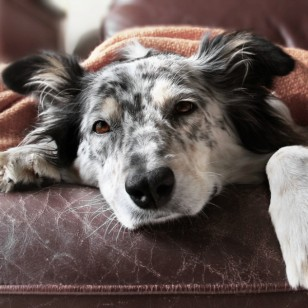 7 alimentos y bebidas que nunca debes darle a tu perro