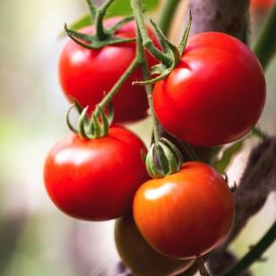 ¿Por qué el tomate es el aliado ideal para tu dieta de verano?