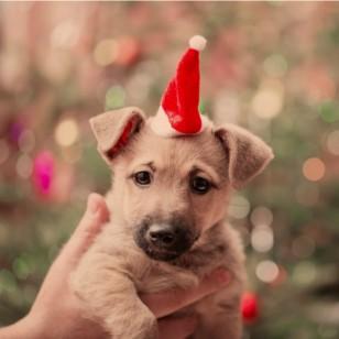 Protege a tus mascotas de estos riesgos en casa en Navidad